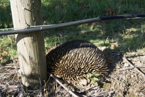 An Echidna hunts for food under a vine in the King Valley