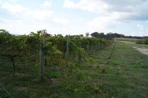 Castagna vineyards 1