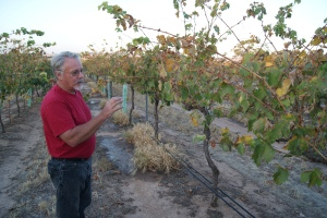 Wayne shows me some sangiovese vines