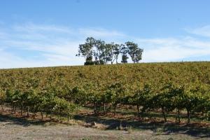 Iconic Australian viticulture
