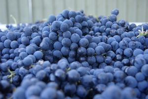 Montepulciano grapes waiting their turn