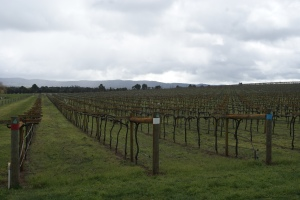 Some of the youngest plantings of pinot gris