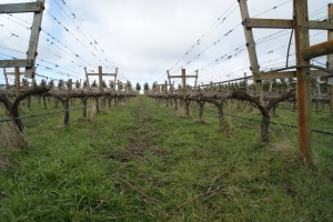 Some of the older vines using a lyre trellis system
