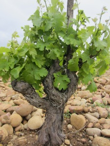 Grenache vine in Chateauneuf-du-Pape, France